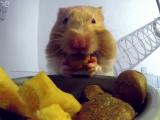 VIDEO: Gdje staje sva ta hrana u hrčkovim ustima?