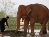 ZANIMLJIVO: U Mjanmaru nađena albino slonica – simbol sreće