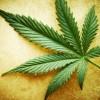 KANADA: Nestašica kanabisa već prvog dana nakon legalizacije