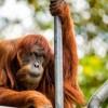 AUSTRALIJA: Najstariji orangutan na svijetu preminuo u 62. godini