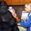 AMERIKA: Uginula Koko, najpoznatija gorila na svijetu