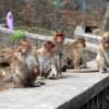 INDIJA: Majmuni kamenovali starca, preminuo u bolnici