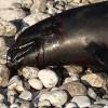 NA OSTRVU SVETI NIKOLA: More izbacilo uginulog delfina