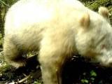 ZANIMLJIVOSTI: Snimljena džinovska albino panda