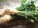 ZDRAVLJE: Celer – izvor kalijuma i kalcijuma