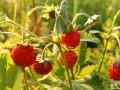 ZDRAVLJE: Divlje jagode umiruju nervni sistem